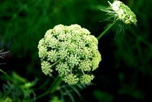 Close-up Of Queen Annes Lace Blooming Outdoors