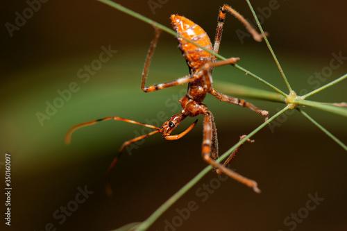 Australian Assassin Bug also known as Reduviidae Canvas Print