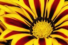 Full Frame Shot Of Yellow Gazania