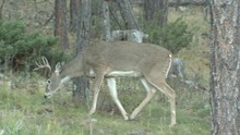 White-tailed Deer Buck Male Walking Moving In Black Hills Ponderosa Pine Forest