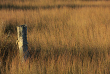 An Old Wooden Fence Post Sticking Out Of A Sea Of Rush Plants