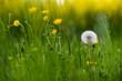 blooming dandelion in spring meadow