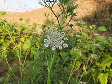 It Is Carrot Flowers. Queen Anne's Lace Or Daucus Carota Blossom Macro Showing Center Flower Of The Wild Carrot. A Carrot May Have More Than 1000 Flowers. Beautiful Carrot Flower Looking Like Umbrella