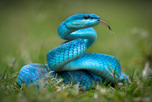 Blue Turquoise Trimeresurus Insularis