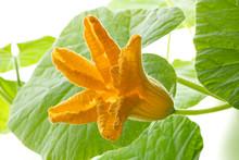 Fresh Yellow Pumpkin Flower Cl...