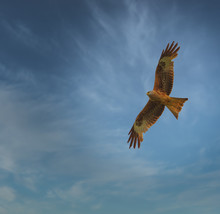 Red Kite In Soaring In The Sky