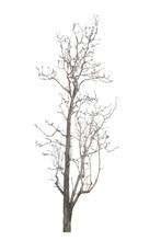Dead Tree In The White Backgro...