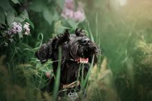 Miniature Schnauzer Black Puppy Spring Walk In Nature Beautiful Portrait Expressive Look