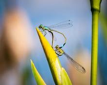 A Mating Pair Of Azure Damself...