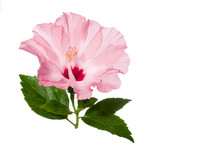 Pink Hibiscus Flower With Green Leaves Isolated On White Background