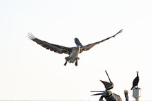 Brown Pelican At Sunset Off Je...