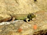 Fototapeta Zwierzęta - Zielona jaszczurka na kamieniu