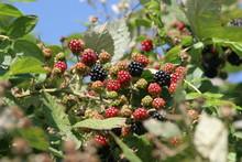 Close-up Of Ripening Blackberries