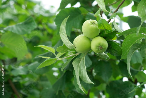 Close-up Of Fresh Granny Smith Apples On Tree Twig Poster Mural XXL