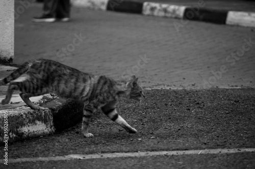 Photo Cat Walking On Street