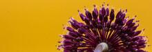 Panoramic Closeup Of Allium Vi...