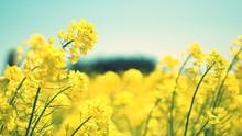 Close-up Of Oilseed Rape Field