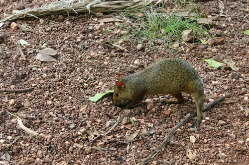 Photo Close-up Of Agouti Digging Hole In Soil