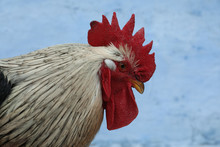Big Beautiful Rooster On Blue ...