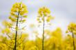 żółte kwiaty rzepaku na polu zbliżenie