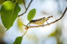 Olive-backed Sunbird, Yellow-b...