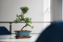 Japanese Bonsai Plant On Light...
