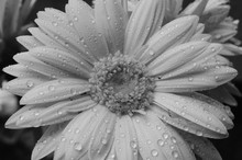 Close-up Of Raindrops On Gerbera Daisy Blooming Outdoors
