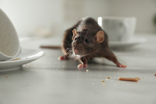 Rat Near Dirty Dishes On Table Indoors. Pest Control