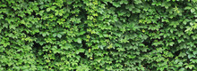 Green Background From Plant Le...