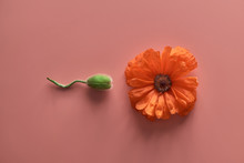 Poppy Flower And Unopened Poppy Bud On A Pink Background. Abstract Image Of A Human Egg Fertilization Process.