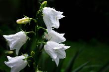 White Campanula Flower Covered...