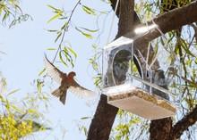 Desert Bird In Flight - House Finch 4