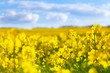 canvas print picture - Yellow rapeseed field against blue sky background. Blooming canola flowers.