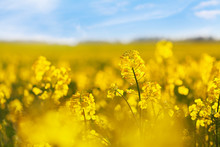 Yellow Rapeseed Field Against Blue Sky Background. Blooming Canola Flowers.