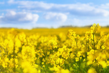 Yellow Rapeseed Field Against ...
