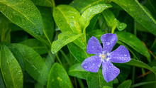 Closeup Of Purple Vinca Flower With Water Droplet Covered Leaves