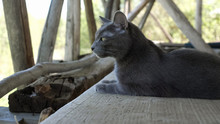 Gray Cat Sits On Wooden Boards In The Barn.