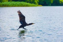 The Great Cormorant Soars On The Lake, Black Shag Wings Spread, Reeds, Water Bird, Nature, Animal, Flight