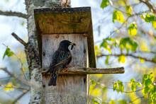 Starling Bird ( Sturnus Vulgar...