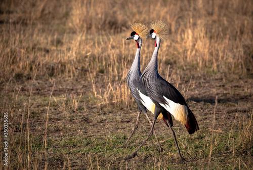 Fotomural grey crowned cranes in Africa walking side by side in the grasslands of Kenya's