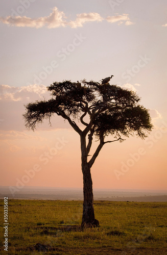 Cuadros en Lienzo A lone acacia tree silhouetted at sunset in the Masai Mara with roosting vulture