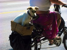 Woman Cycling While Dog Sitting In Bicycle Basket