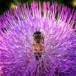 canvas print picture - Bee On Purple Flower