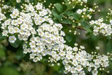 White Flowering Shrub Background.
