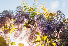 Wisteria Flowers Blooming In S...