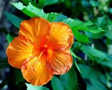 Orange Hibiscus Blooming Outdoors
