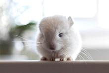 Baby White Chinchilla With Lon...