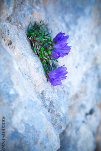 Photo Blooming blue bell flower with small green leaves