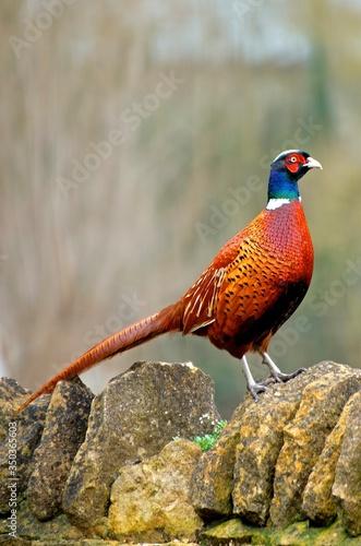 Carta da parati Pheasant Standing On Stone Wall