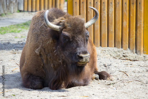 Bison on a warm summer day. Wild animal Tapéta, Fotótapéta